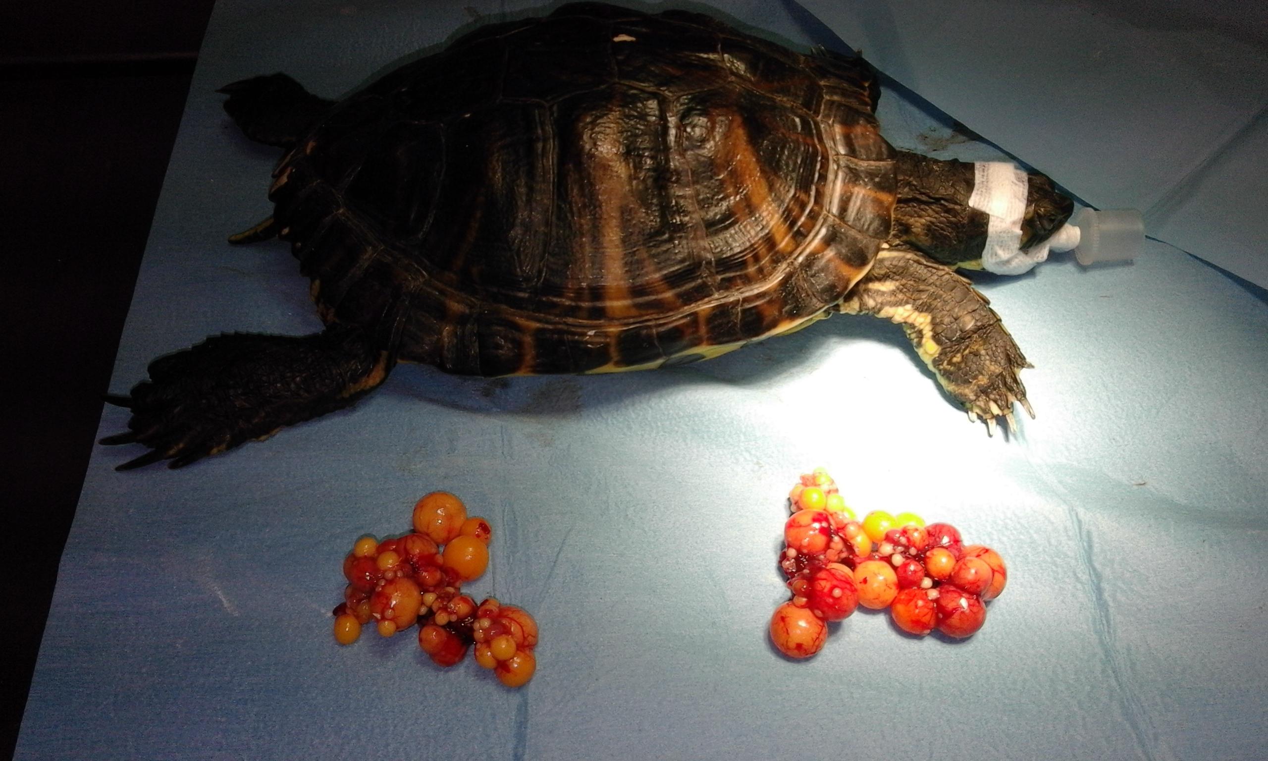 Trachemys scripta biozone for Tutto per le tartarughe